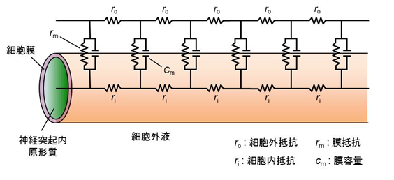 https://bsd.neuroinf.jp/w/images/3/3a/Cable_fig1.png