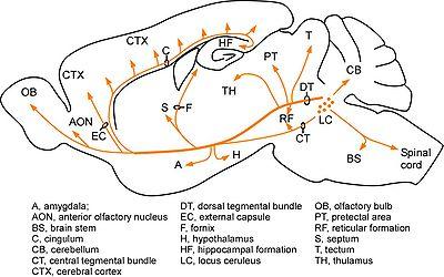 効果 ノルアドレナリン アドレナリンの効果と効能、作用について