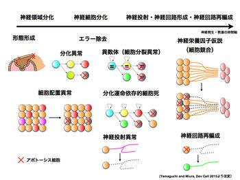 細胞死 - 脳科学辞典