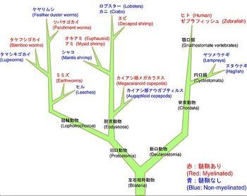 ミエリン鞘ニューロン機能