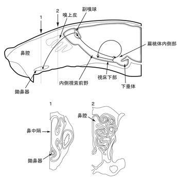 副嗅覚系 - 脳科学辞典