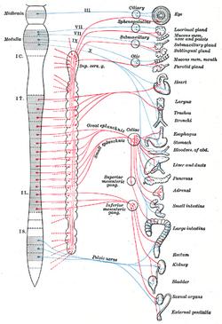 脊髄神経 - 脳科学辞典