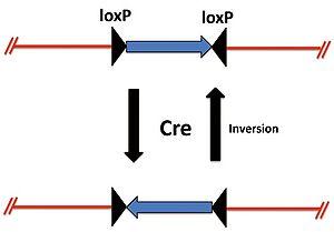 loxP配列が異なる方向の場合のCreによる組換え