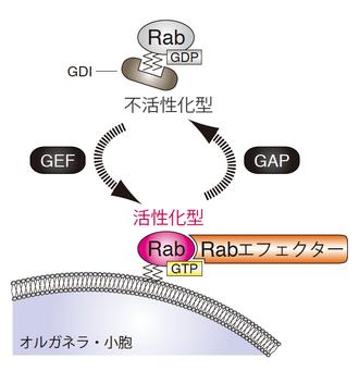 Rabファミリー低分子量Gタンパク...